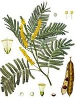 Le symbole de acacia dans un rêve