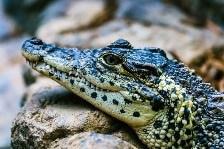 Rêver d'alligator et son interprétation: