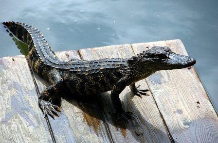 Rêver d'alligator signification