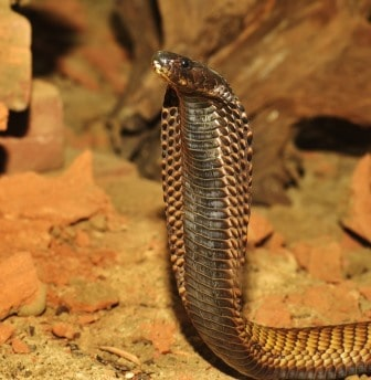 Que signifie rêver de cobra ?