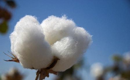Rêver de coton
