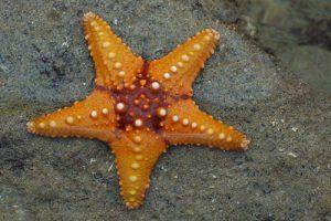 Rêver d'étoile de mer et sa signification: