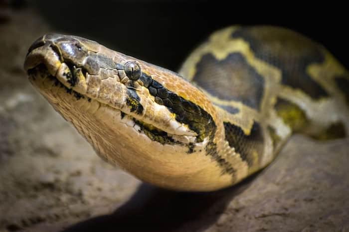 Le rêve de serpent et sa signification: