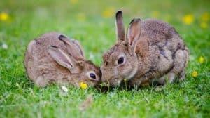 Que signifie rêver de lapin ?