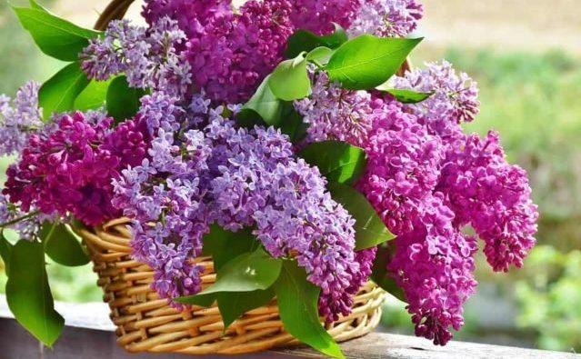 Que signifie rêver de lilas ?