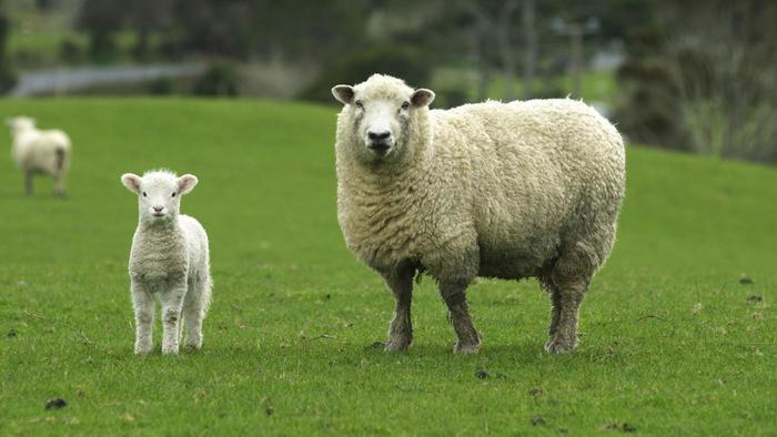 Que signifie rêver de mouton ?