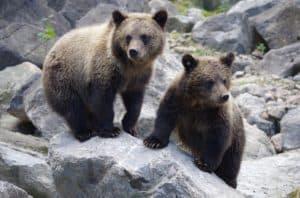 Rêver de ours et son interprétation: