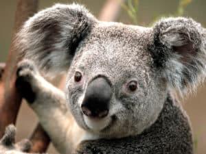 Rêver de koala et son interprétation:
