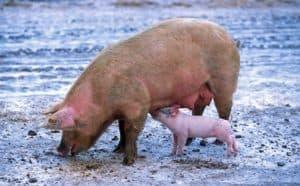 Symbole du cochon dans un rêve: