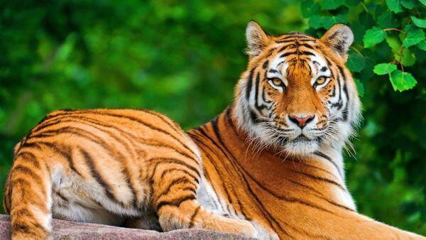 Pourquoi rêver de tigre ?