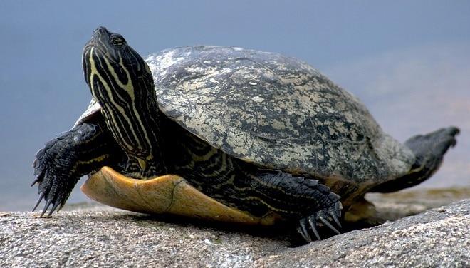 Rêver de tortue et son interprétation: