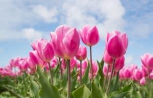 Rêver de tulipe et son interprétation: