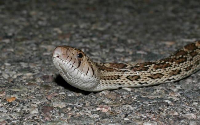 Rêver de serpent dans la maison et son interprétation: