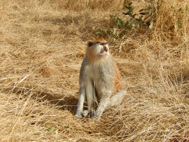 Rêver de singe et son interprétation: