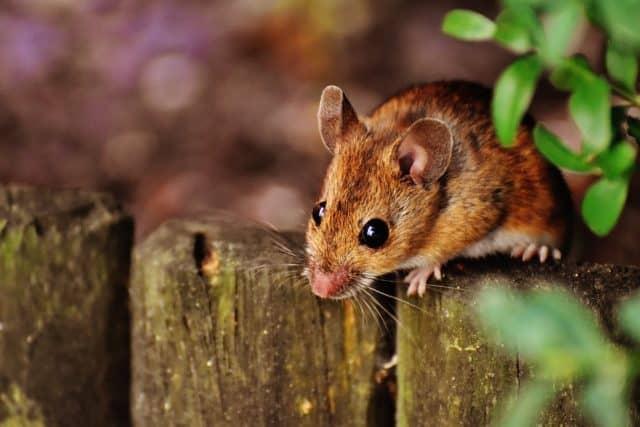 Que signifie un rêve de souris ?