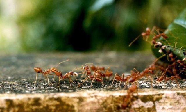 Que signifie rêver de fourmis rouges ?