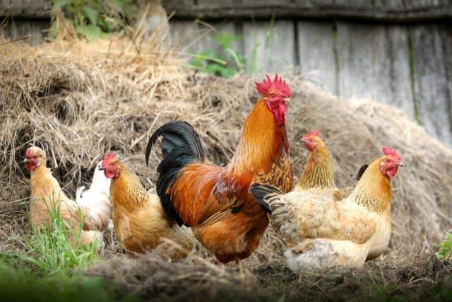 Que signifie rêver de poulet ?
