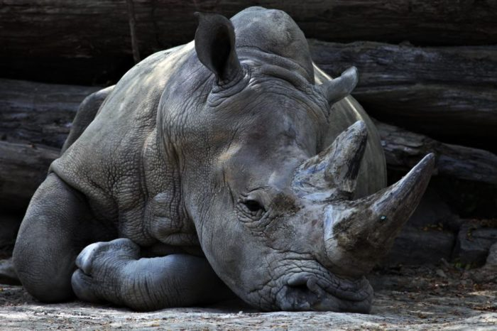 Rêver de rhinocéros et son interprétation: