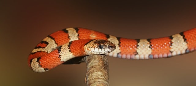 Interprétations des rêves de serpents:
