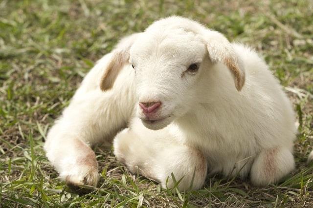 Que signifie un rêve d'agneau ?