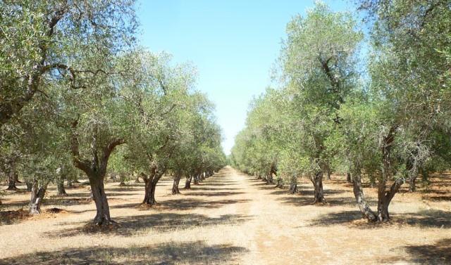 Le rêve d'oliveraie et sa signification: