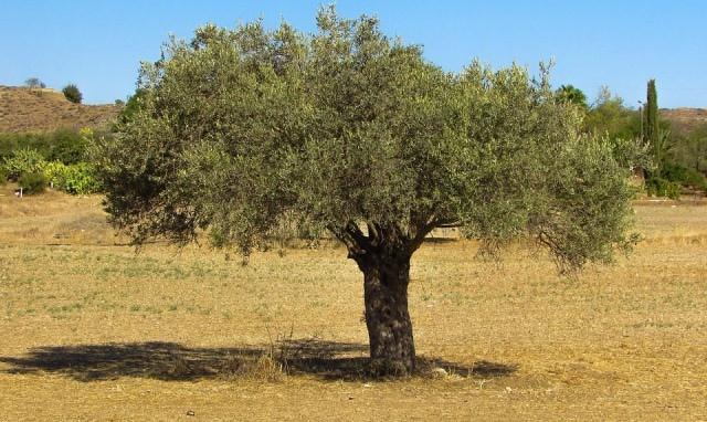 Le rêve d'olivier et sa signification: