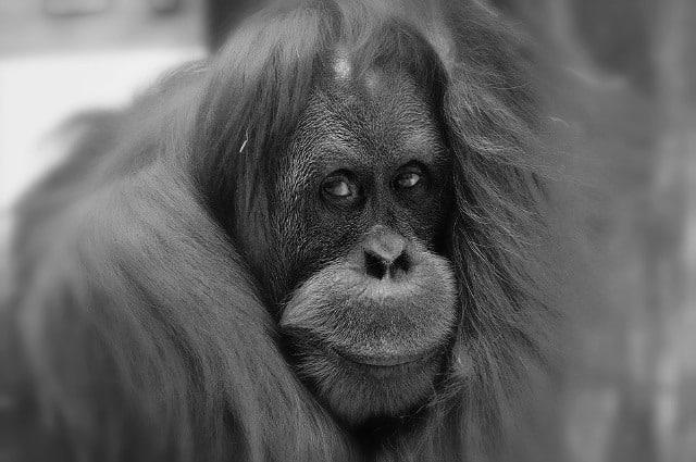 Le rêve d'orang-outan et sa signification: