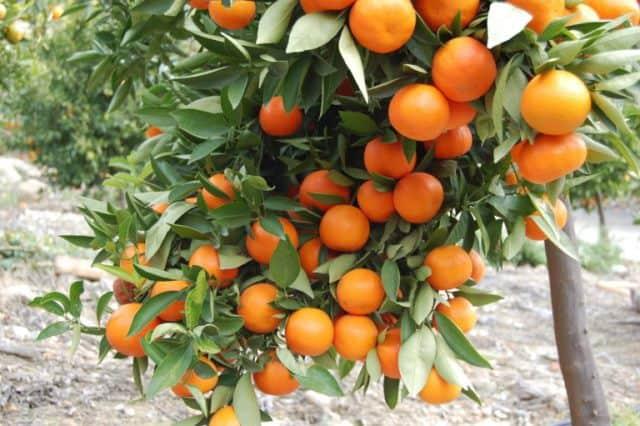 Le rêve d'oranger et sa signification: