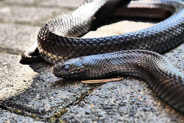 Le rêve de serpent noir et sa signification: