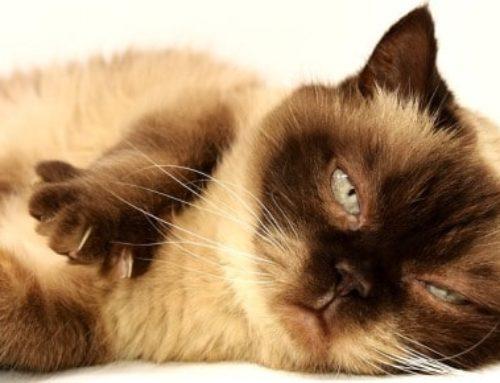 Les significations des rêves de chat