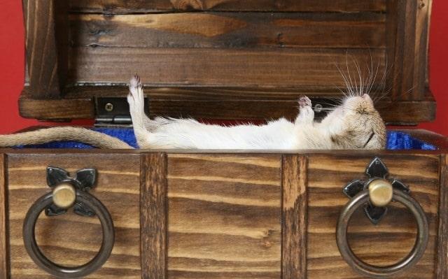 Que signifie un rêve de rat mort ?