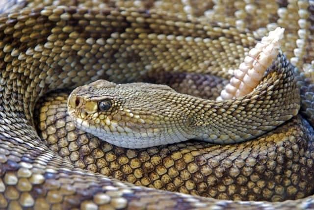Que signifie un rêve de serpent à sonnette ?