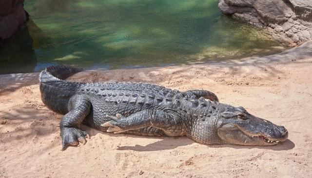 Que signifie un rêve d'alligator ?