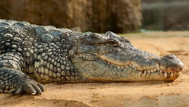 Que signifie un rêve de manger un alligator ?