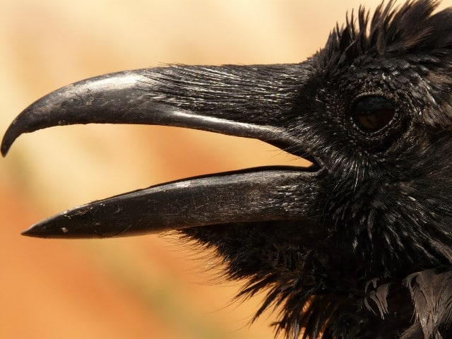 Que signifie un rêve de corbeau ?