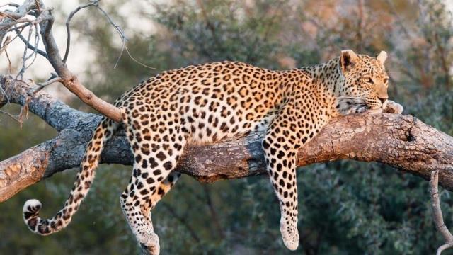 Que signifie rêver de léopard ?