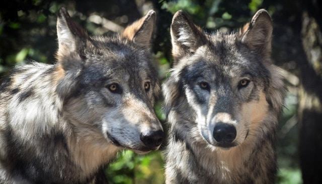 Que signifie rêver de loup ?