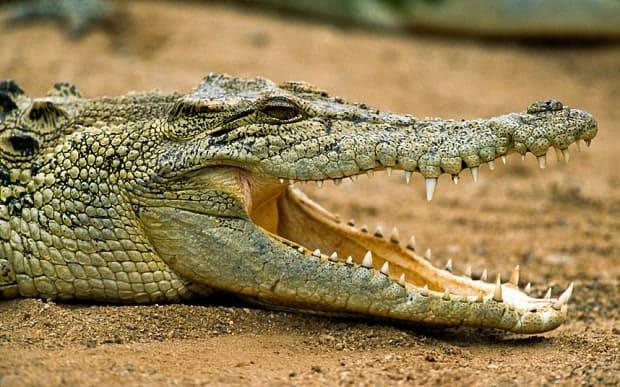 Que signifie rêver de combattre un crocodile ?