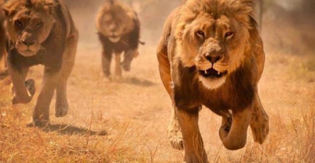 Pourquoi rêver d'être poursuivi par un lion ?