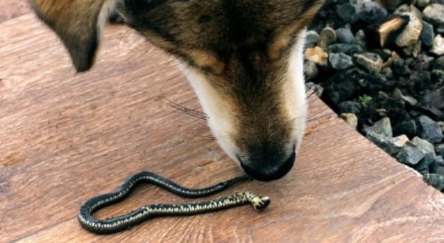Que signifie rêver d'un serpent qui mord un chien ?