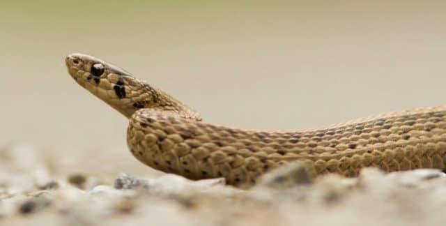 Que signifie rêver de serpent marron ?