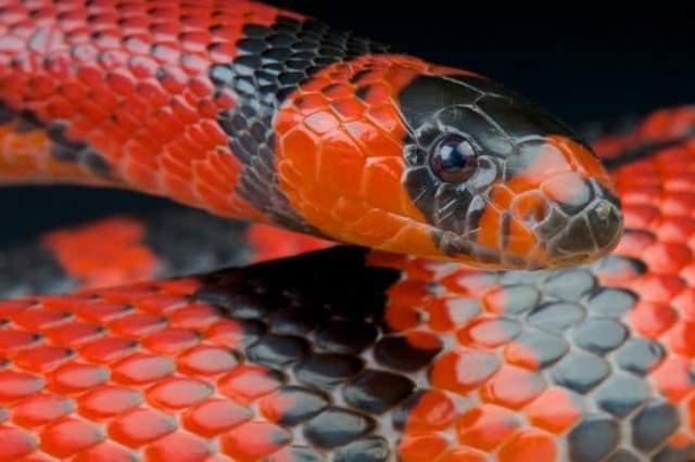 Que signifie rêver de serpent rouge et noir ?