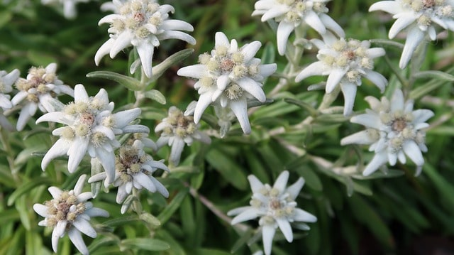 Que signifie rêver d'edelweiss ?