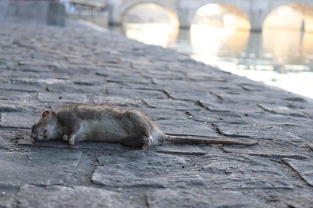 Que signifie rêver de tuer un rat ?
