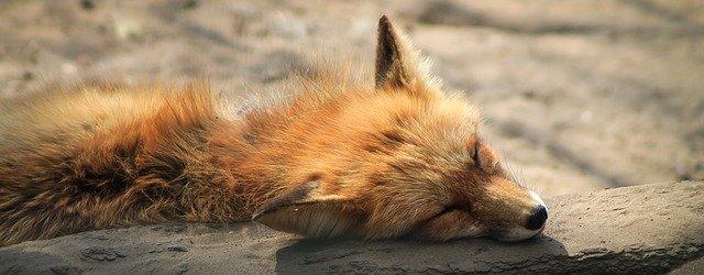 Que signifie rêver de tuer un renard ?