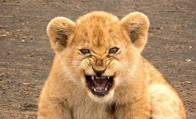 Que signifie rêver de bébé lion ?