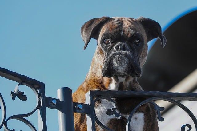 Que signifie rêver de chien de garde ?