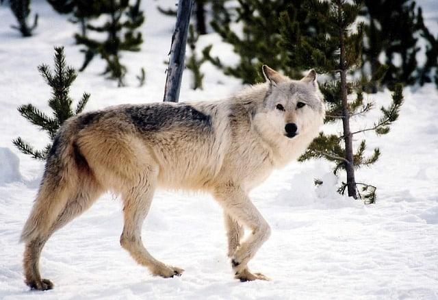 Pourquoi rêver de chien loup ?