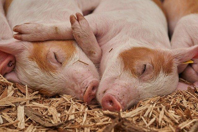 Pourquoi rêver de cochon ?