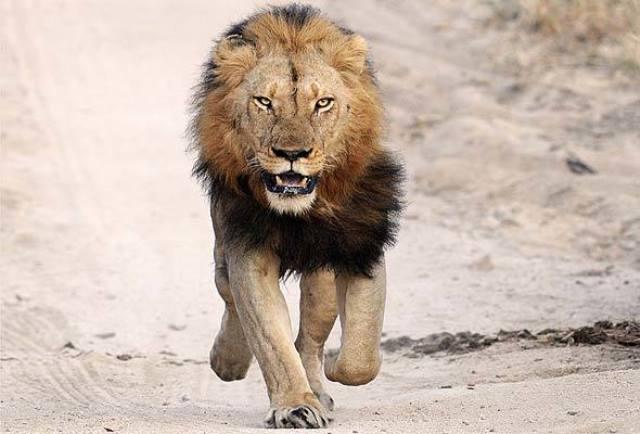 Que signifie rêver de lion blessé ?